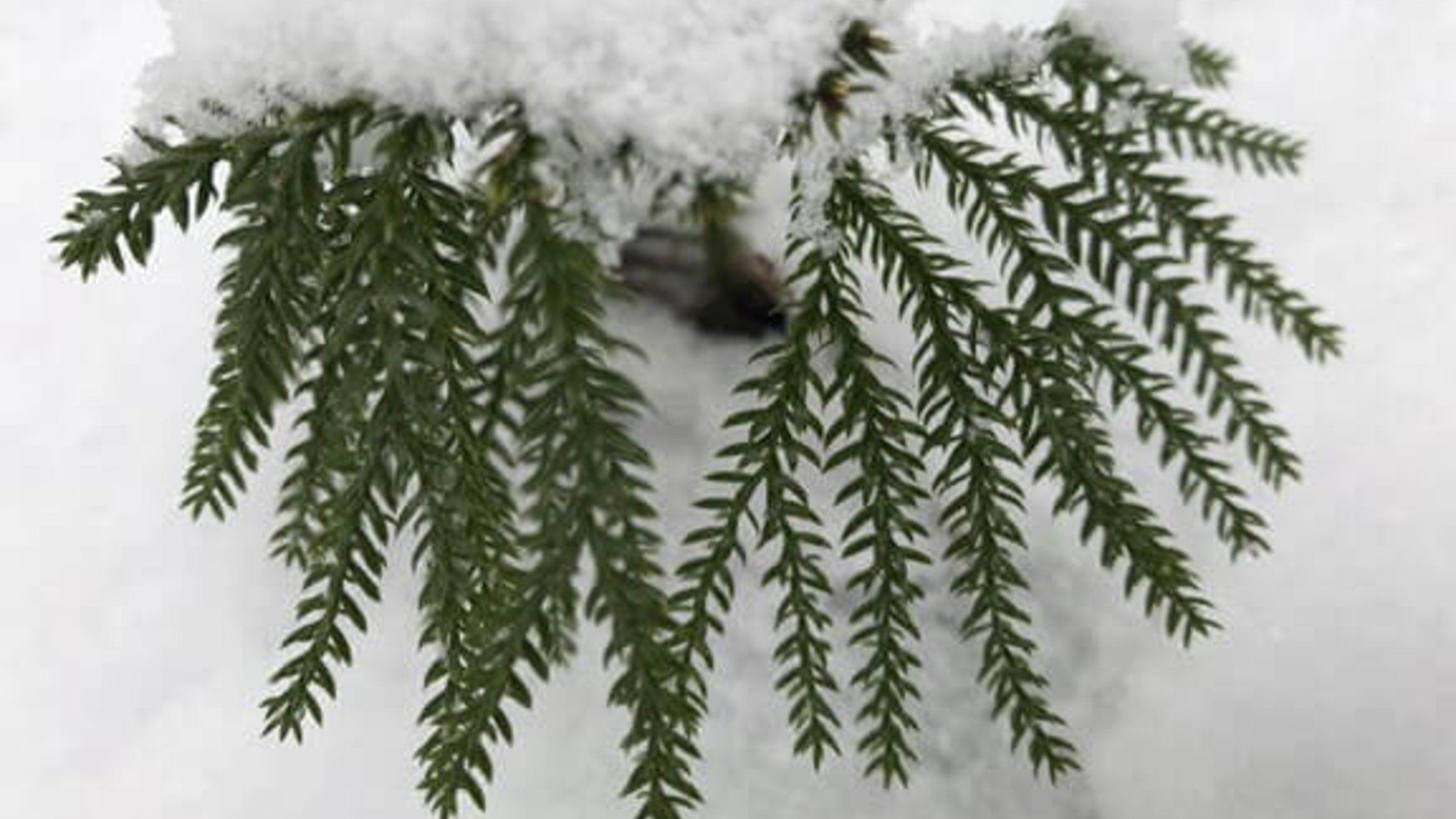 Evergreen branch covered in deep snow